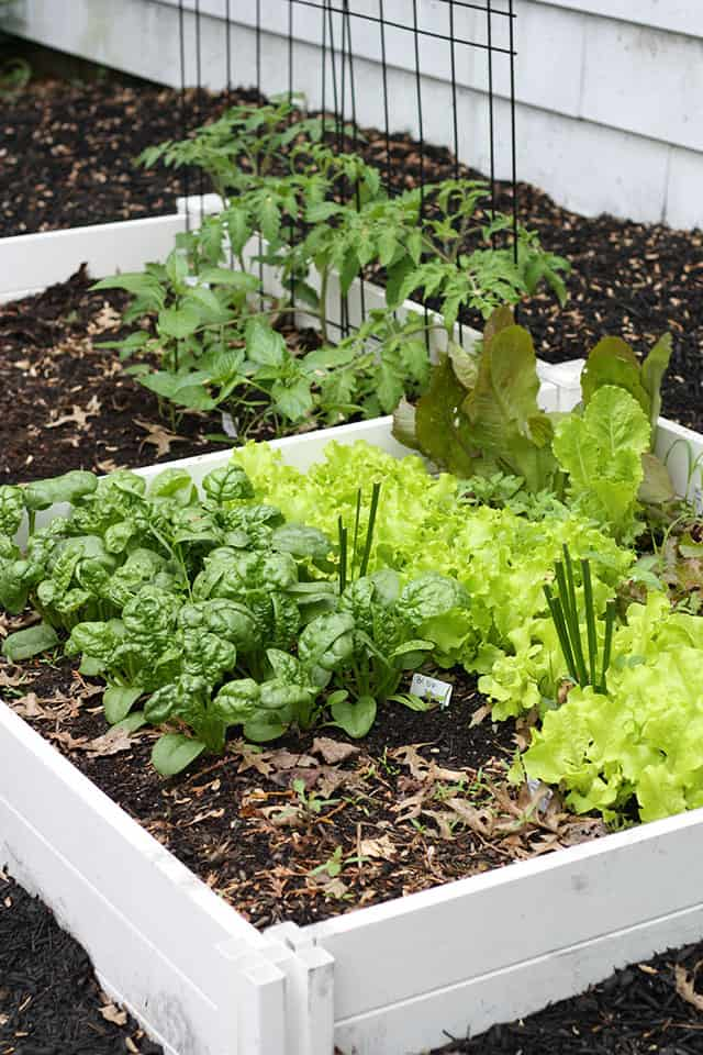 White raised garden beds with spinach, lettuce, and tomato plants growing