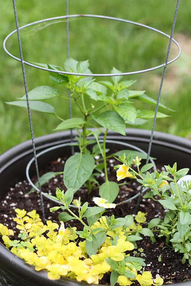 A planter with a pepper plant and petunias