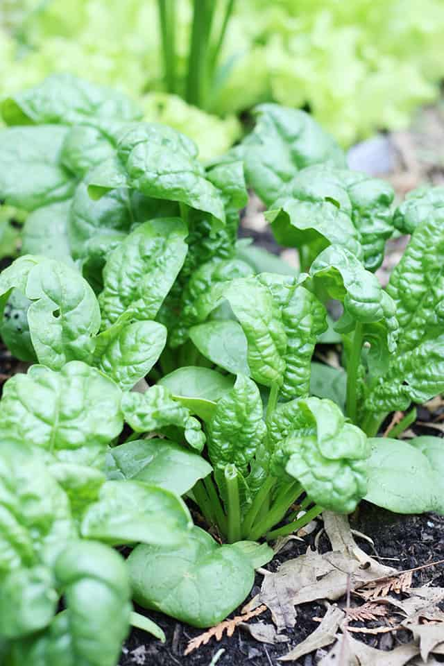 Fresh bloomsdale spinach growing in a square foot garden outside