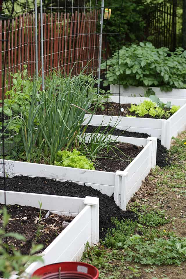 Raised garden beds with spring vegetables growing