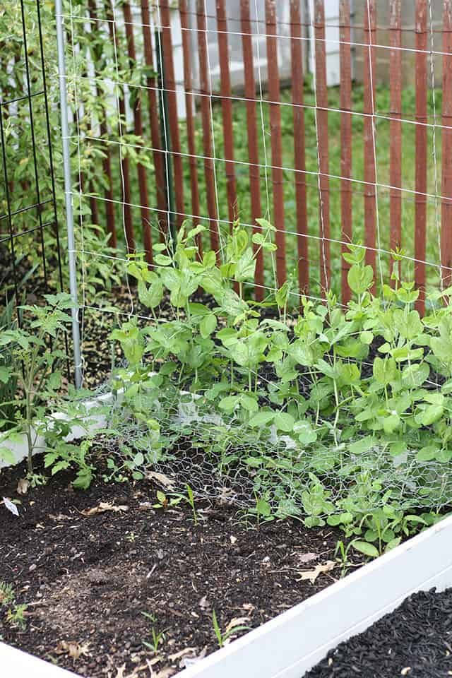 Pea plants in a raised garden bed growing up a trellis