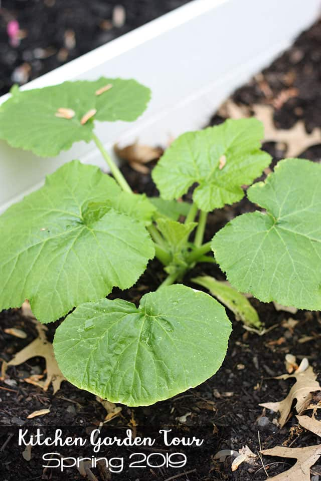A small zucchini plant growing in a white raised garden bed